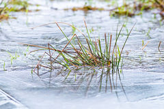Grass is frozen in a icy pond. Small depth of field is used royalty free stock photo