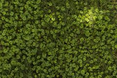 Grass full of clovers. Green grass full of clovers of three foil Royalty Free Stock Image