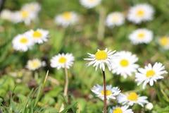 Grass full of ox-eye daisy - also oxeye daisy Leucanthemum vulg Stock Photography