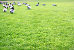 Grass and geese Stock Photo