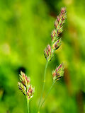 Grass getting ready to seed,  close-up Stock Photography