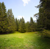Grass glade in spruce forest. Grass green glade in spruce forest royalty free stock images