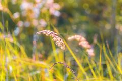 Grass light of the setting sun blurred background of a lush meadow bokeh royalty free stock photo