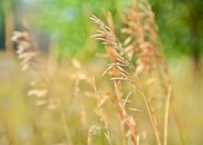 Grass, Grass Family, Close Up, Crop royalty free stock images