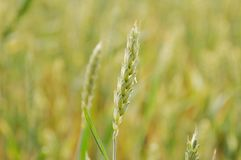 Grass, Grass Family, Field, Food Grain stock images