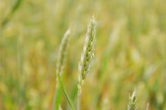 Grass, Grass Family, Field, Food Grain stock photography