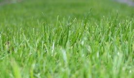 Grass, Grass Family, Field, Wheatgrass Royalty Free Stock Photos