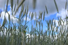 Grass, Grass Family, Sky, Phragmites royalty free stock photos