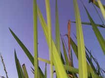 Grass. Grasses image image with sky in rain Stock Photos