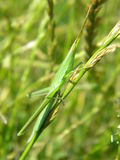 Grass grasshopper Royalty Free Stock Photography