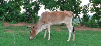 Grass grazing cow stock images