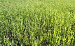 grass green Στοκ Φωτογραφίες