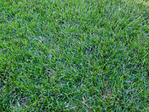 Grass2. Green grass in the back yard freshly cut Stock Photos