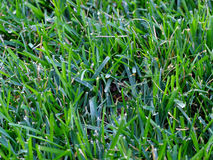 Grass3 Royalty Free Stock Images