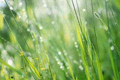 Grass on green background. Grass on a sunny day. Summer warm day. Green background. Water drops royalty free stock photography
