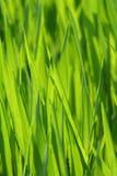 Grass, Green, Field, Grass Family Stock Photo