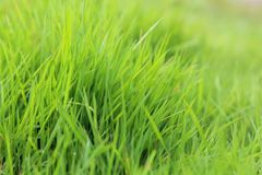Grass in green, fresh, soft, natural, in spring, in the garden or in natural conditions. Close-up, with a blurred background, daytime, for calendars, as a stock images