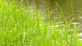 Grass. Green grass in the garden Royalty Free Stock Images