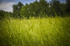 Grass. Green long grass in the forest Stock Image