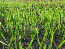 Grass green meadow macro landscape Royalty Free Stock Photo