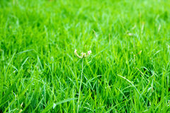 Only grass. Grass with green grass. out door Royalty Free Stock Image