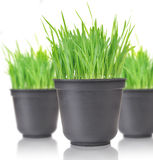 Grass. Green grass in pots. Isolated on white Stock Image