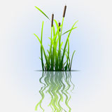 Grass green reed Royalty Free Stock Photos