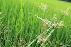 Grass in green rice field. freedom concept Stock Images