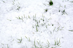 Grass green in the snow Stock Photography