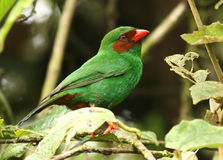 Grass-Green Tanager Royalty Free Stock Photography