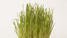 Grass. Green grass on a white background Royalty Free Stock Images