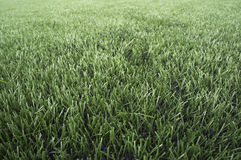 Grass green yard background nature abstract texture royalty free stock photos