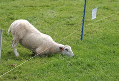 Grass is greener on the other side. Sheep eating grass on the other side of electric fence royalty free stock image