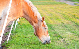 Grass is greener on the other side of the fence. Horse leaning through the fence stock images