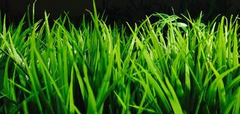 Grass. Greeny grass on black background with close view royalty free stock images