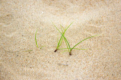 Grass grow on sand beach Royalty Free Stock Images
