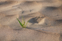 Grass grow up from sand Royalty Free Stock Images