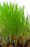 Grass growing Royalty Free Stock Photo
