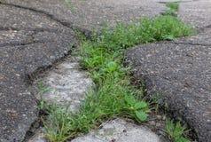 Grass growing through the asphalt. Grass making its way through a crack of asphalt stock photo