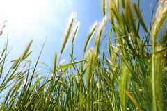 Grass of growing barley Royalty Free Stock Photography