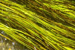 Grass growing in a chalk stream in England stock photo