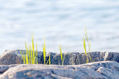 Grass growing close to the sea Royalty Free Stock Images