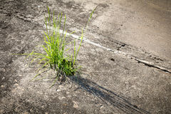 Grass growing in concrete. Green grass growing through crack in concrete royalty free stock photo