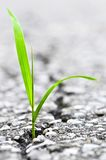 Grass growing from crack in asphalt. Green grass growing from crack in old asphalt pavement stock image