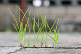 Grass growing through crack in concrete. Close up stock photography