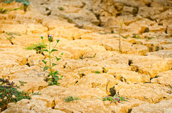 Grass growing on drought field, drought land Royalty Free Stock Image