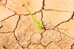 Grass growing on drought field, drought land Stock Photos
