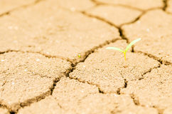 Grass growing on drought field, drought land Stock Photography