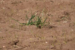 Grass growing in dry ground. Royalty Free Stock Image