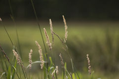 Grass growing in the field. Stalks of grass growing in the field Stock Photos